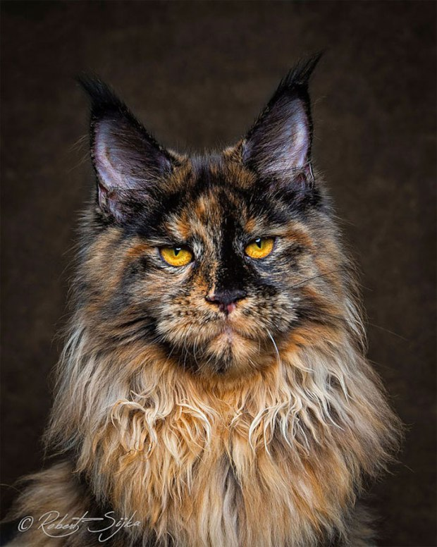 Majestic Portraits of Maine Coon Cats That Become Mythical Creatures